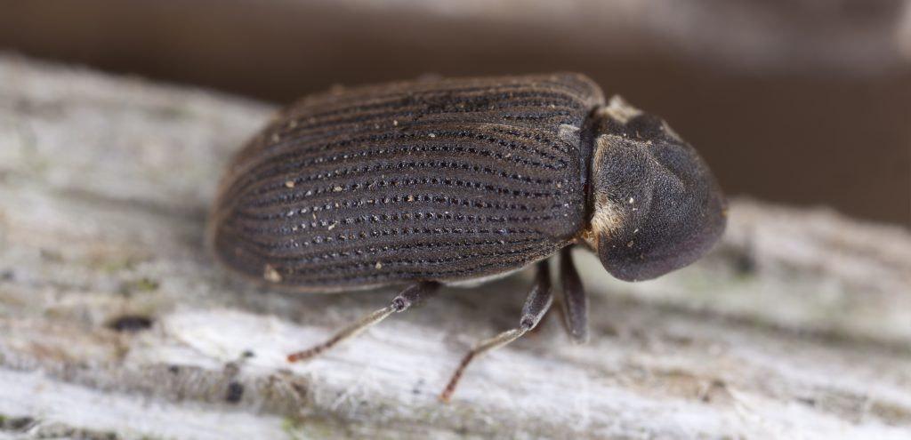 close up of woodworm beetle