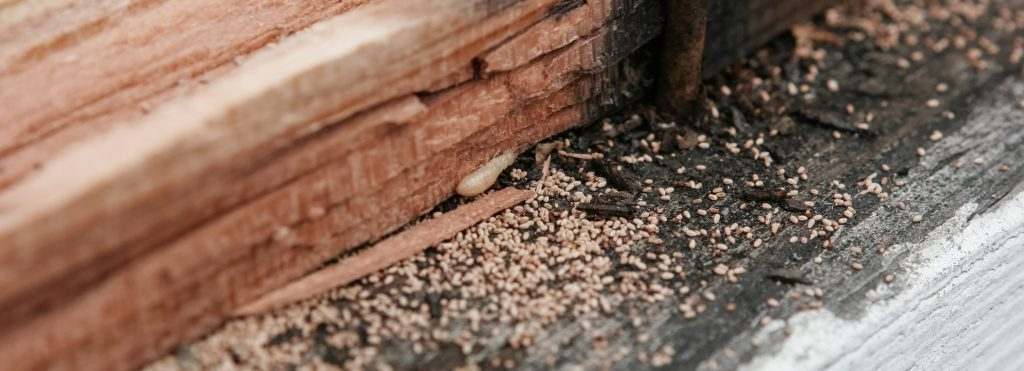 Live woodworm eating wood. Frass or wood droppings present.